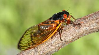 17 Year Cicada (Magicicada) perched on a stick with a green background