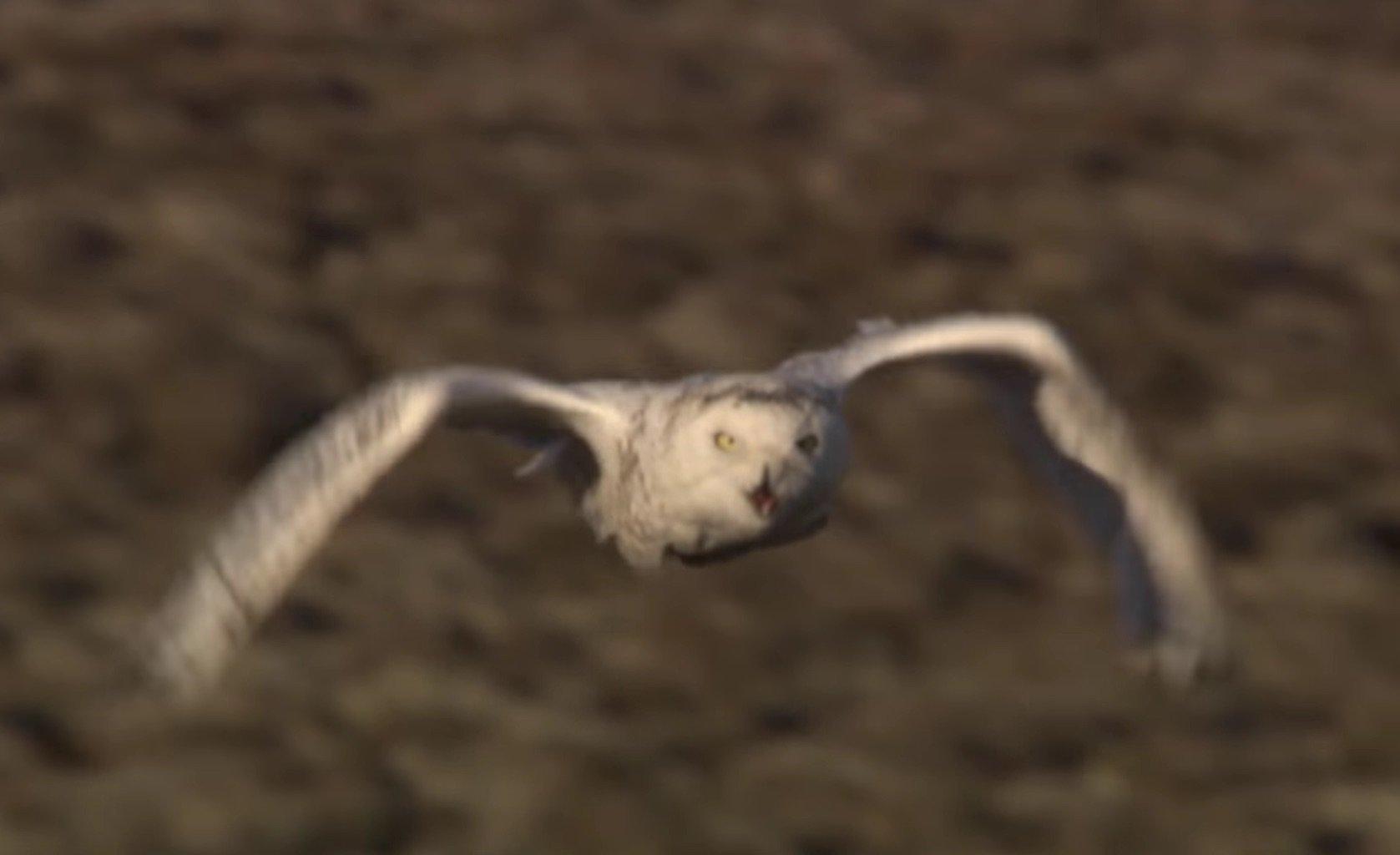 Owl vs Wolves