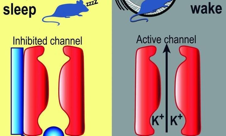 In an experiment on mice, the researchers found that changing the pattern of neuronal activity fromday-associated to&nb