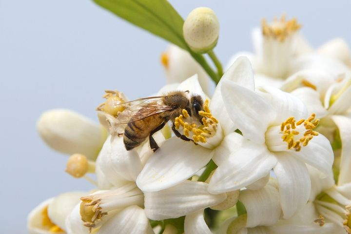 A bee gathers honey from an orange blossom.