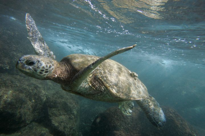 A green sea turtle.
