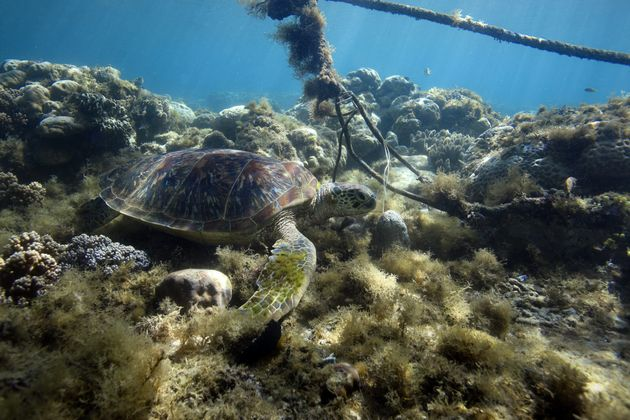 Green sea turtle resting on coral reef under boat mooring