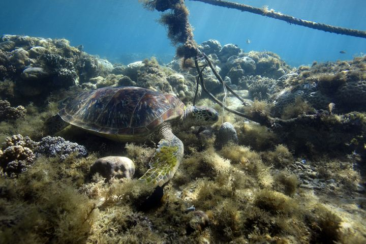 Green sea turtle resting on coral reef under boat mooring line.