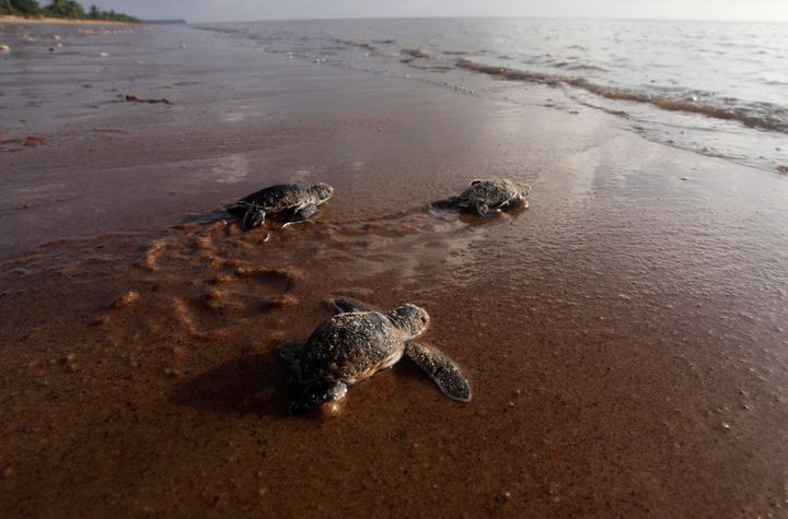 Baby green sea turtles crawl to the water from their nest.