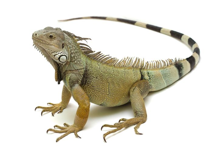 Green, or common, iguanas (such as this one pictured) can reportedly survive a 40 foot fall.