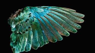 The Superb Starling's wing feathers are a bright, eye-catching green indicative of a structural coloration; color is produced by microscopically structured surfaces that interfere with and scatter visible light. These iridescent birds live in large flocks where females breed with multiple males for larger genetic diversity, while the males pair with a single female for life.