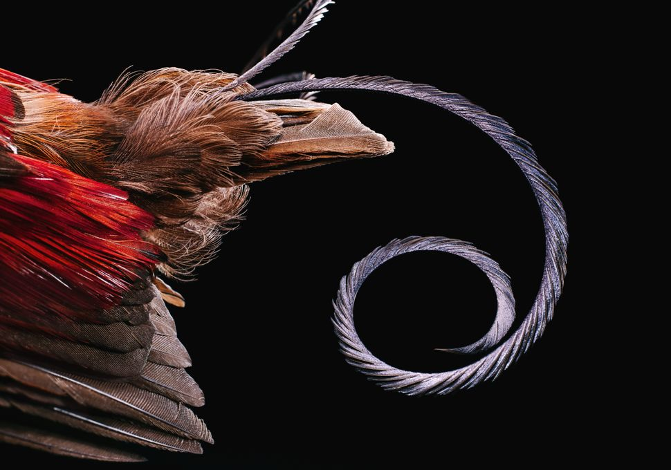 This image shows a single tightly folded tail feather of Wilson's bird-of-paradise. The most curious feature of this sp