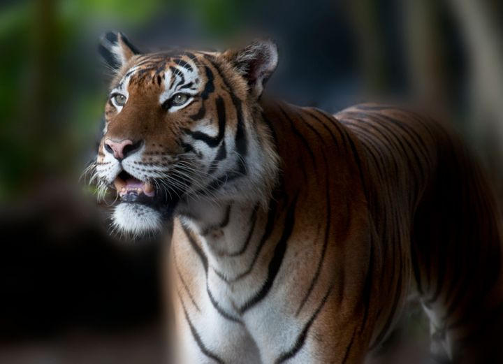 A tiger is seen at the Palm Beach Zoo in West Palm Beach, Florida. One of the zoo's four Malayan tigers killed a zookeeper la