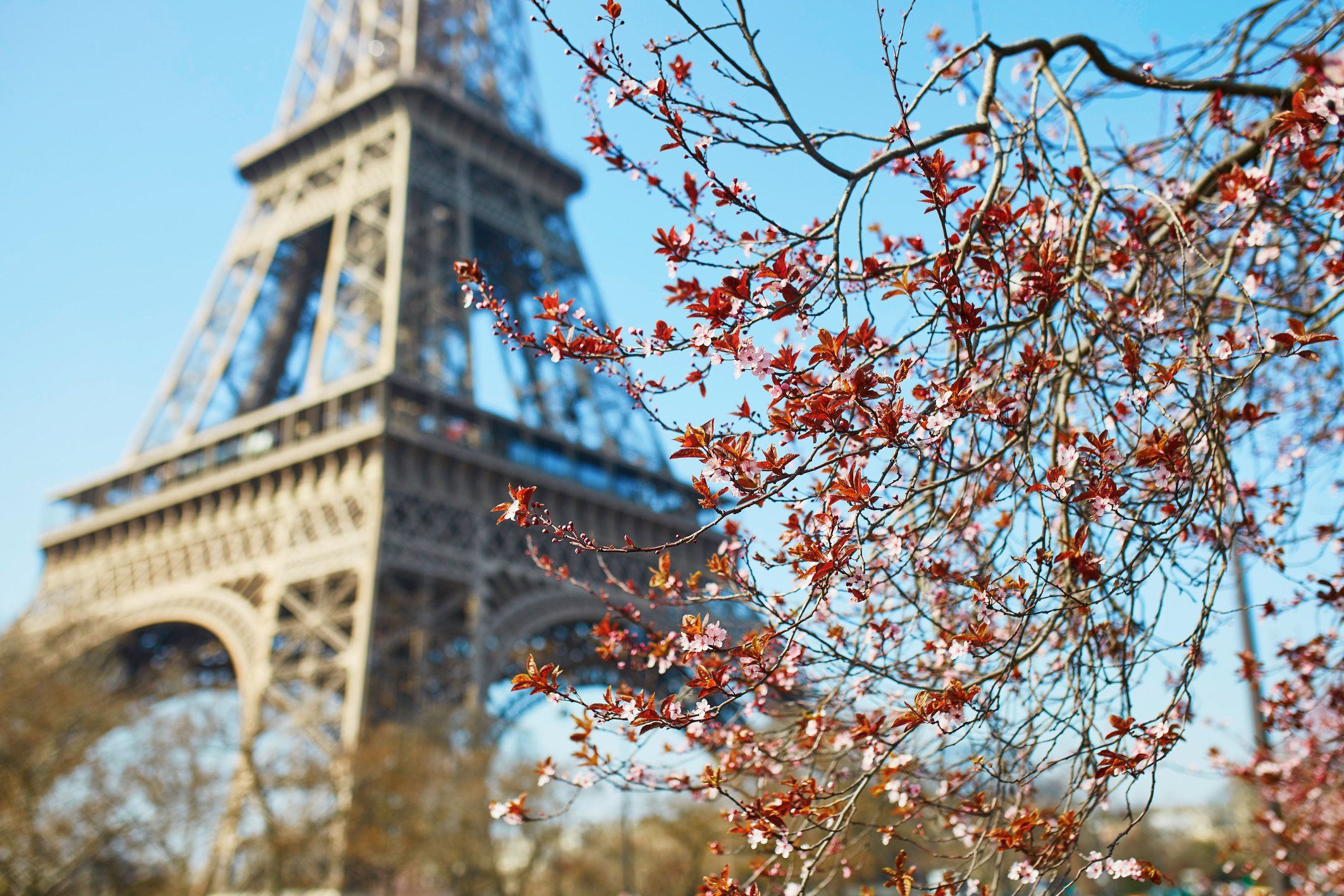 Beautiful pink cherry blossom in Paris near the Eiffel tower on a nice spring day with blue sky