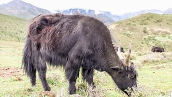 Black yak is eating grass in Shangri-la, Yunnan, China