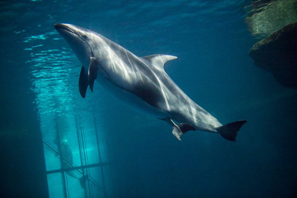Katrl, a Pacific white-sided dolphin, is seen in labor at Chicago's Shedd Aquarium on Monday.