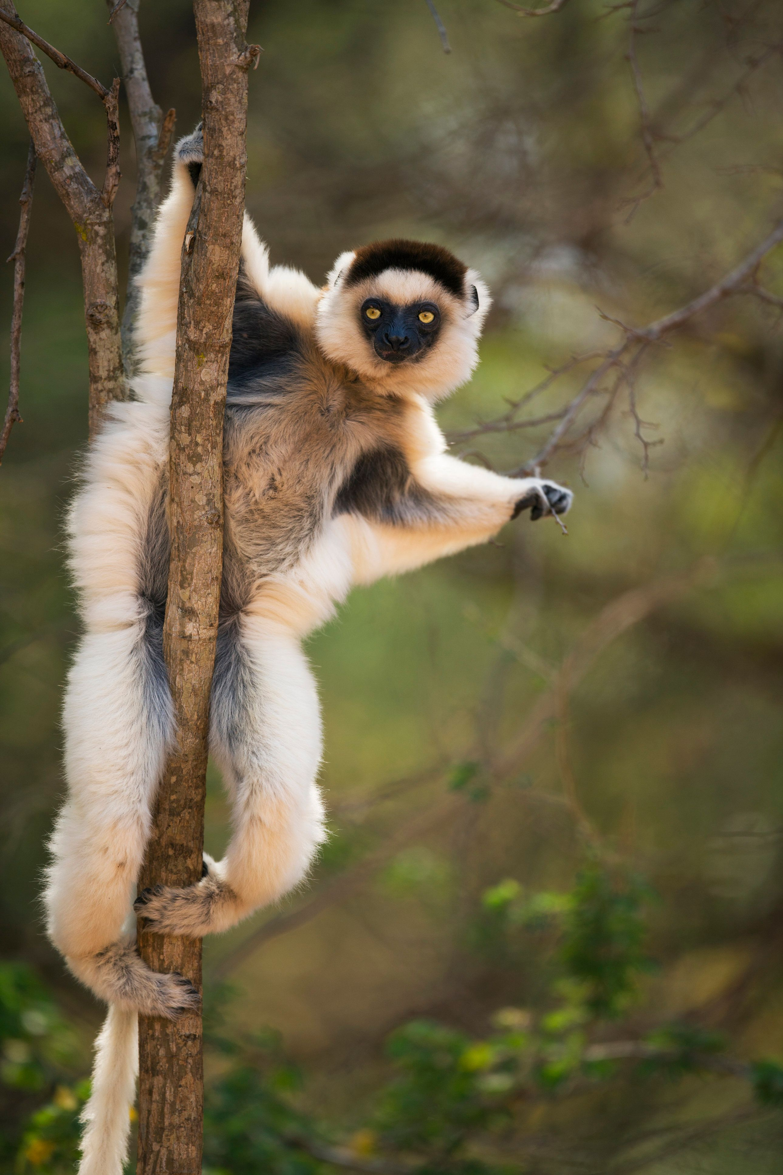 Verreaux's sifaka (Propithecus verreauxi) clinging to tree. Berenty Private Reserve, Madagascar. Oct 2008.