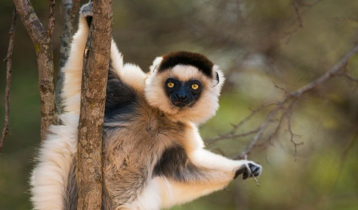 Verreaux's sifaka -- a lemur species -- clingsto a tree in Madagascar.