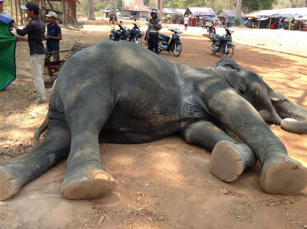 Animals rights groups have slammed the 'cruel' practice of elephant rides and are calling for the practice...