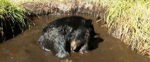 YELLOWSTONE BEARS BEAR BATHTUB