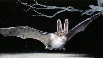 UNSPECIFIED - JUNE 15: Common brown long-eared bat (Plecotus auritus), Chiroptera, drawing. (Photo by DeAgostini/Getty Images)