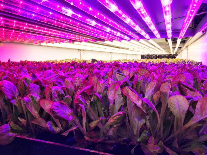 Heads of red romaine lettuce are seen in their final stage of growth at Aerofarms' growing facility in Newark.