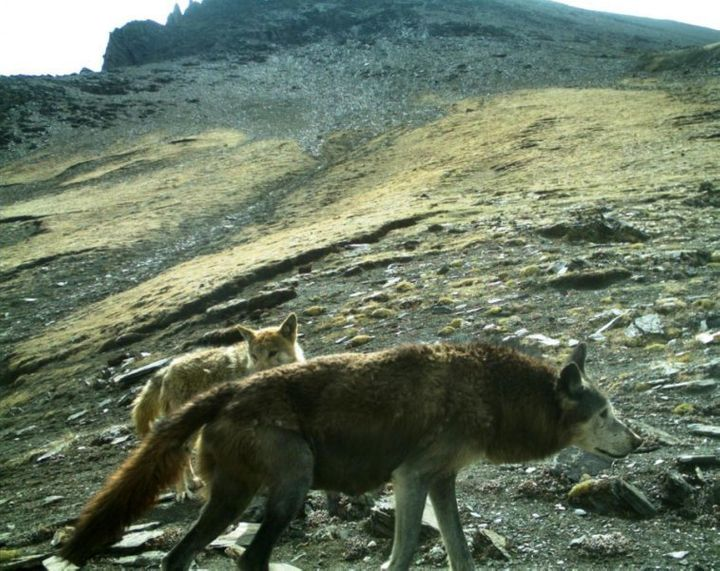 A pair of Himalayan wolves in the wild