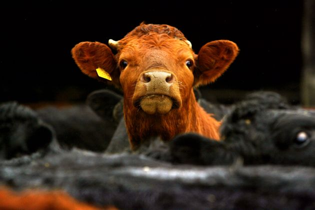 MPs Call For Farmers To Tackle Belching Cows To Cut