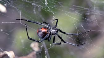 spider  australian red back ...