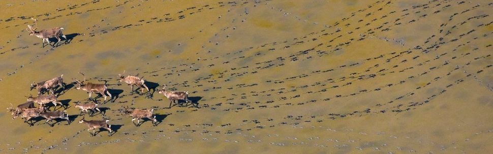 Photographer Art Wolfe has traversed the globe to follow wildlife migration patterns. Here, caribouleave tracks in the