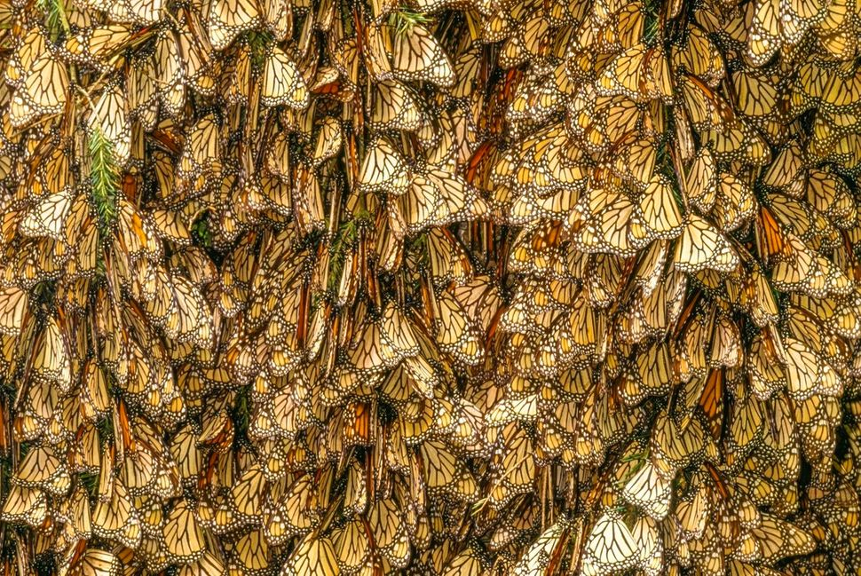 Monarch butterflies are tightly packedin a winter roost, or a place where creatures settleto rest, in remote moun