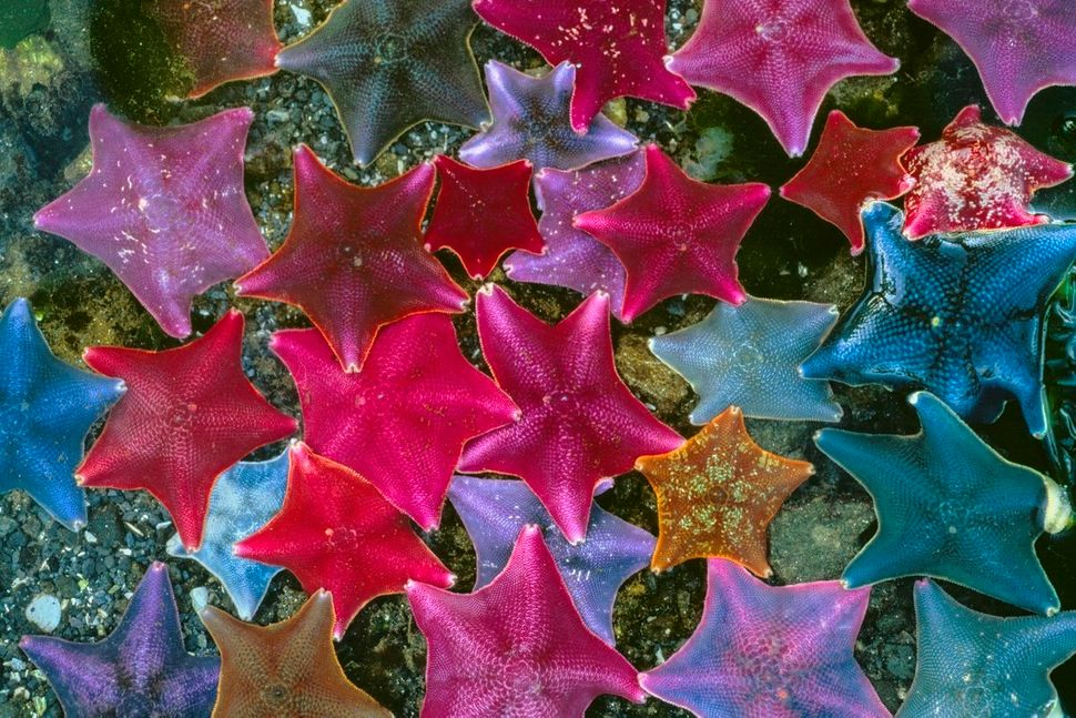 Colorful batstars -- also called sea bats because of their webbed rays -- thrive in Haida Gwaii and Queen Charlotte, two arch