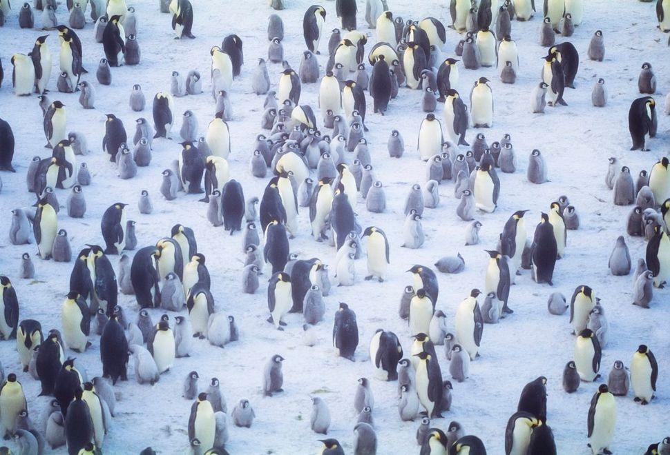 Emperor penguins congregateon frozen icein Halley Bay, Antarctica.