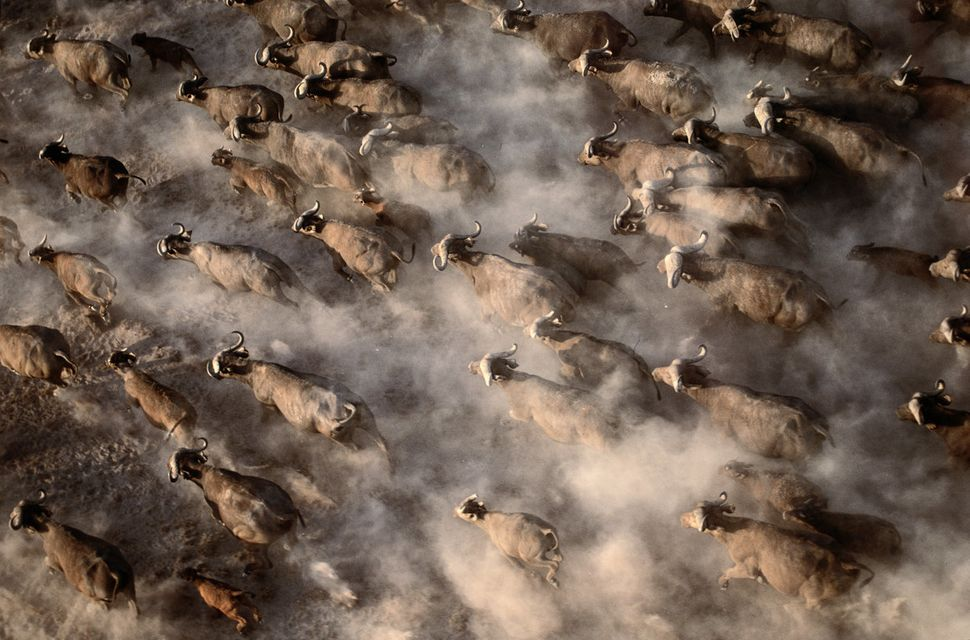 Cape buffaloesstir up a cloud of dust as they race across a dry lake bed in search of water in Amboseli National Park,