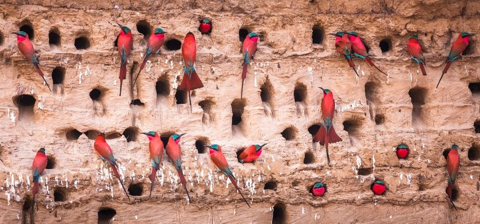 Southern carmine bee-eaters rest in South Luangwa National Park, Zambia.