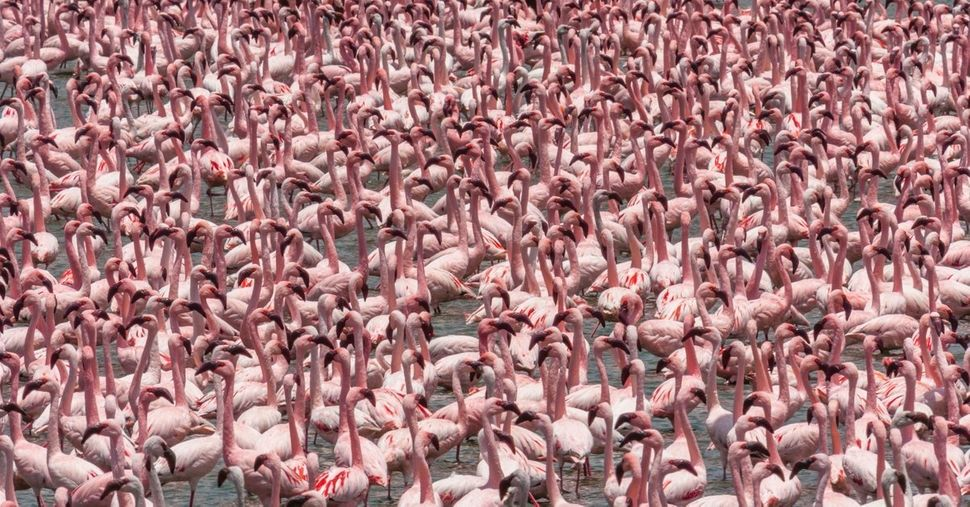 """Lesser flamingoes, which have been classified as """"<a href=""""http://www.birdlife.org/datazone/speciesfactsheet.php?id=3771"""" tar"""