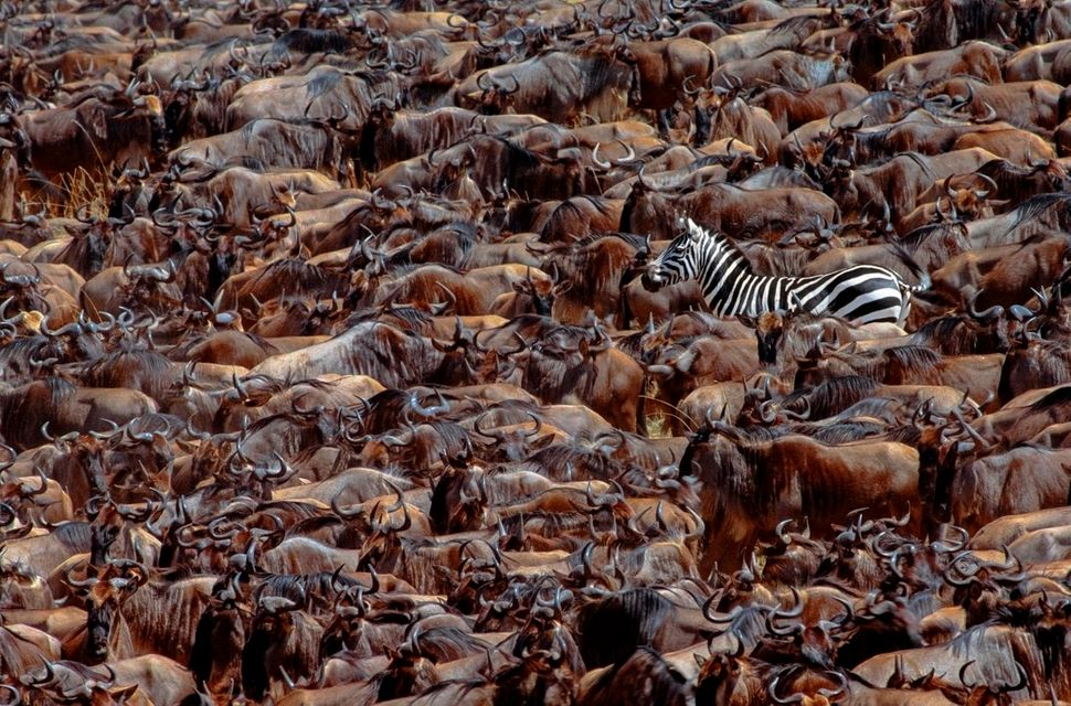 A Grant's zebra -- a small subspecies of the plainszebra -- stands out among white-bearded gnus, or wildebeests, in Ken