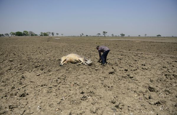 Many cattle, like this one in Gondiya, a village in Maharashtra state, have passed out or died as a result of the heat.