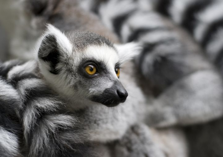 A recent viral video showed a ring-tailed lemur appearing to request a back scratch from human children, but conservation exp