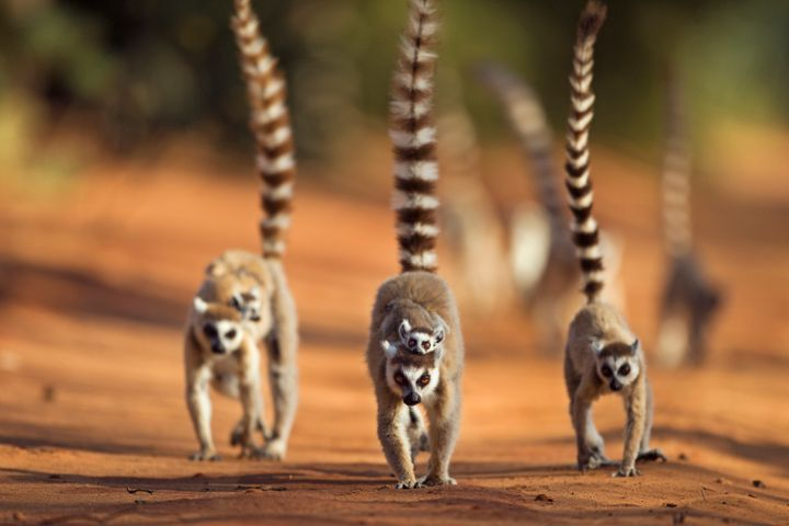 Lemurs are wild animals and are not suited to be kept as domestic pets, biologists say.