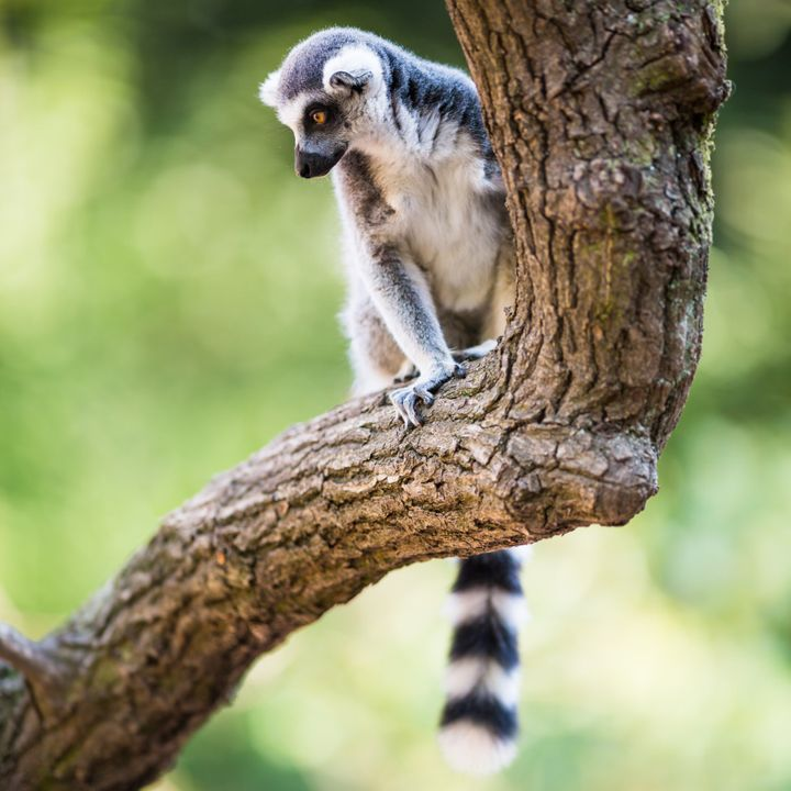 Though conservationists believe the pet trade is detrimental to wild lemur populations, the biggest threat to the animal