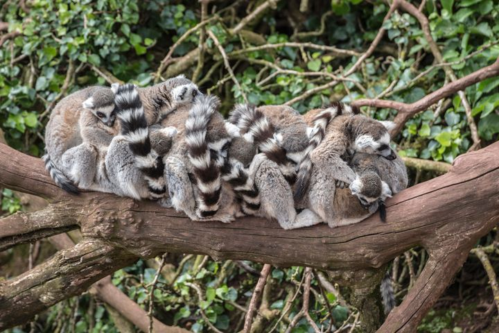 As social animals, lemurs need the company of other lemurs. Here ring-tailed lemurs are pictured sleeping in a group.