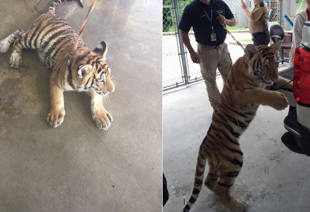 Someone Tried To Steal A Tiger Found Wandering The Streets