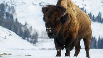 a huge bull bison stands angling toward the camera in a snowy yellowstone winter landscape