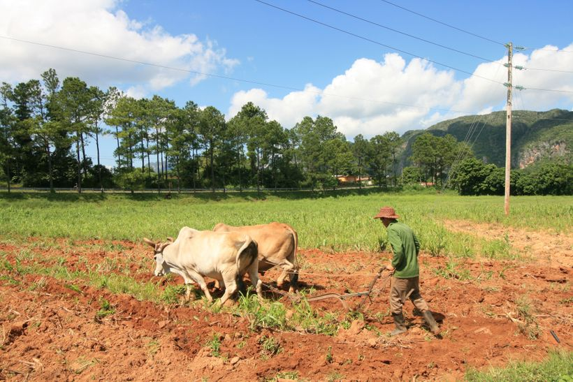 Cuban Farmer Plowing Land with Cattle<br>Pinar del Río, Cuba