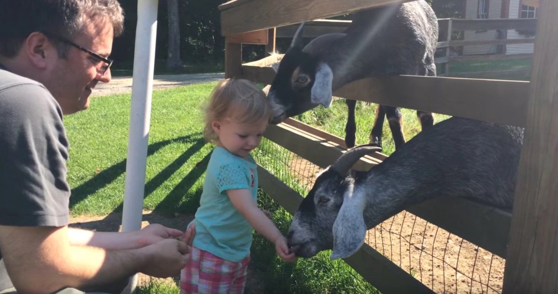 Little girl feeds goats.