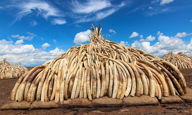 Kenya Lights A $100 Million Ivory Bonfire To Save Elephants