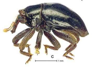 This beetle would make an excellent sidekick for space travel, assumingit behaves anything like its namesake.