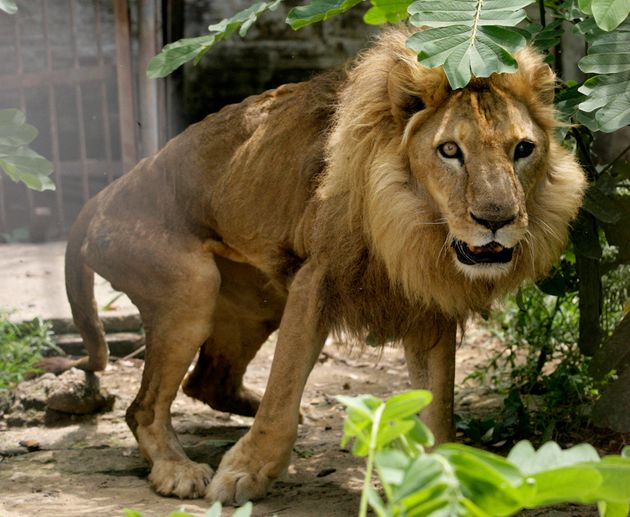 A lion who injured its hip during a performance at a