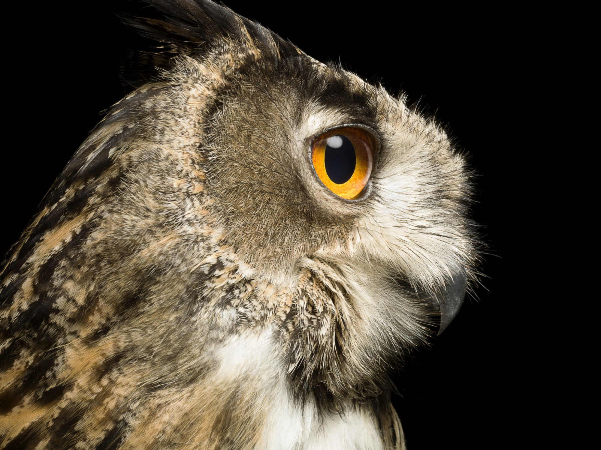Eagle Owl, profile