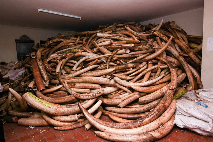 Tagged ivory that the Kenya Wildlife Service confiscated.