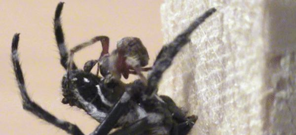 This Male Spider Might Be A More Considerate Lover Than Yours