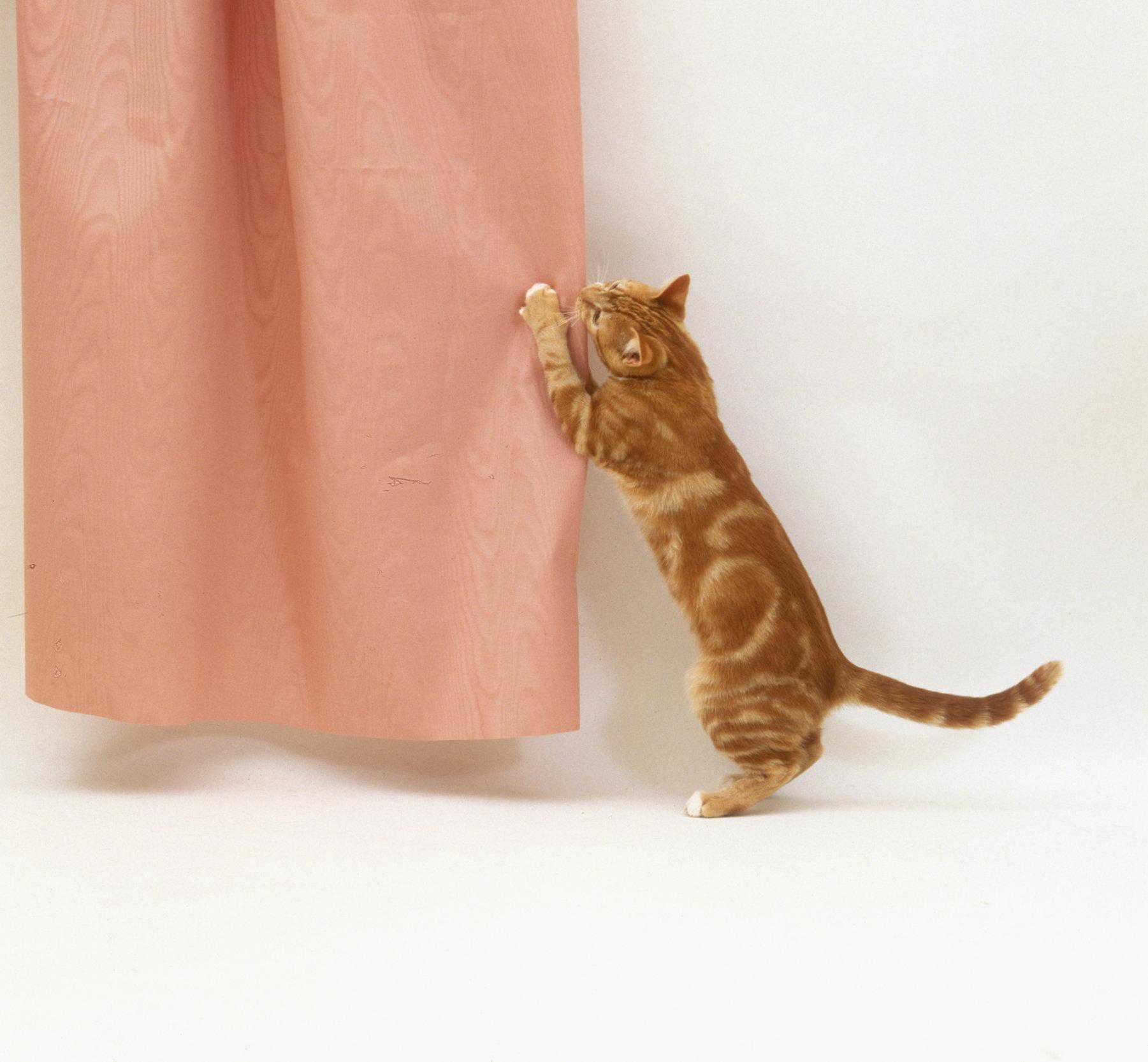 A kitten scratching a curtain