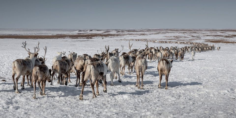 A reindeer flock is seen at a nomad camp, 150 km from the town of Salekhard, Yamalo-Nenets Autonomous Okrug, in Russia on Apr