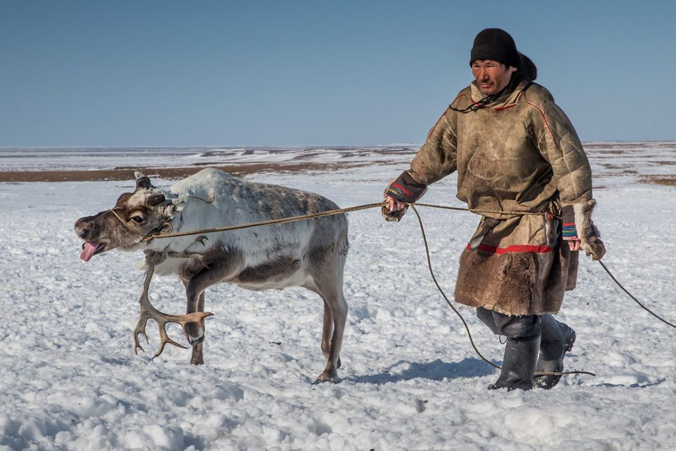 A reindeer herder catches a reindeer at a nomad camp, 150 km from the town of Salekhard, Yamalo-Nenets Autonomous Okrug, in R